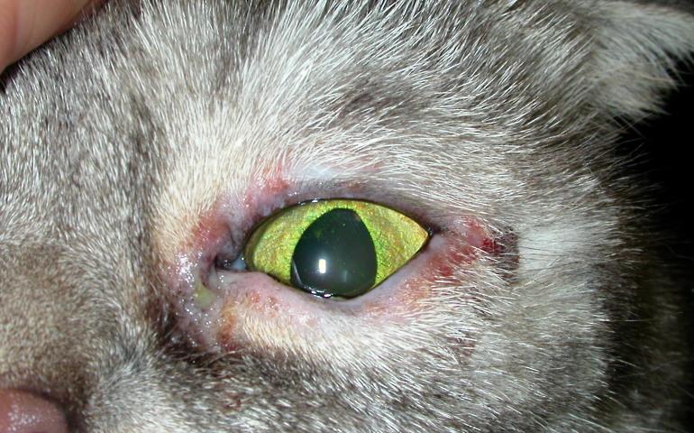 Аллергический конъюнктивит у собак и кошек - МВЦ ГБ доктора Олейник