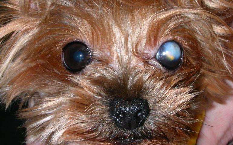 Бельмо на глазу у собаки — МВЦ ГБ доктора Олейник