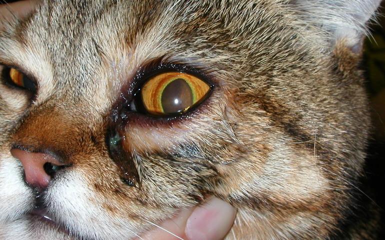 воспаление глаза у кота