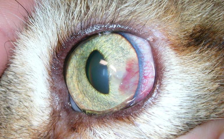 Травмы глаз у кошек и собак. Что делать? - МВЦ ГБ доктора Олейник